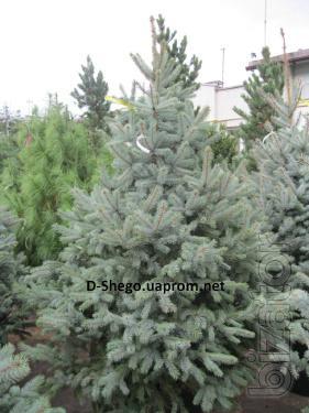 Blue spruce Kiev to buy, spruce PPE variety Glauca