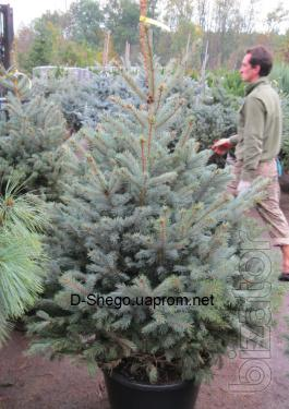 "The prickly spruce , blue spruce, blue spruce Kiev to buy, spruce PPE ""Glauca"""