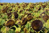 RPE agro-rhythm implements sunflower seeds Lubas
