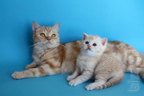 With rare cream color kitten