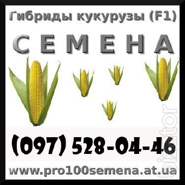 Seeds. Hybrid maize Solonyanskiy 298 ST. from the manufacturer!