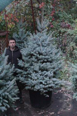 Blue spruce 1.5 to 1.6 m Kiev to buy. Blue spruce Kyiv price.
