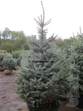"Blue spruce 1.9 to 2.2 m ""extra"" Kiev to buy Blue spruce Kyiv price"