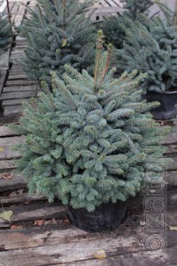 Blue spruce 1 m Kiev to buy. Blue spruce Kyiv price