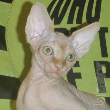 Extraordinary beauty Sphynx kittens.