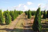 Thuja occidentalis Smaragd 210-220 cm Kiev to buy. The hedges.