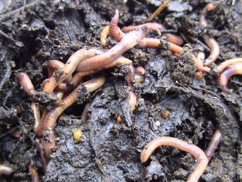 Breeding worm prospector and receiving vermicompost.