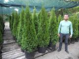 "Thuja Smaragd 150-160 cm ""extra"" Kiev to buy Thuja Kyiv price."