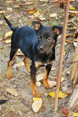 Give in the caring hands of small dogs like Pinscher