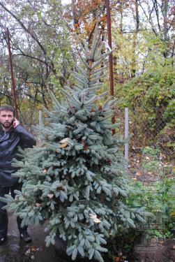 Blue spruce 2-2,5 m sale Kyiv price