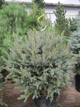 Christmas fir, blue spruce, blue spruce Kiev to buy, conifers