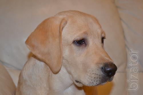 High quality puppies of Labrador Retriever