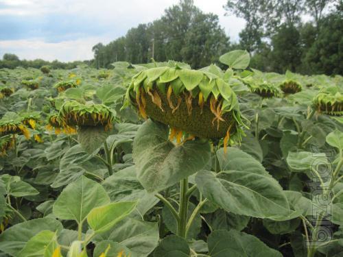 Sunflower Alamo F1 (Euralis) mid-early (105 days)