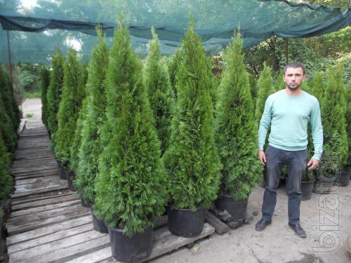 "Thuja occidentalis Smaragd ""extra"" 150-175 cm Kiev to buy."