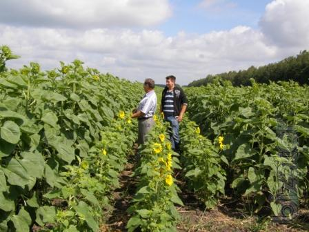 Sunflower seeds.: Ukrainian F1, Ukrainian sun, segrave