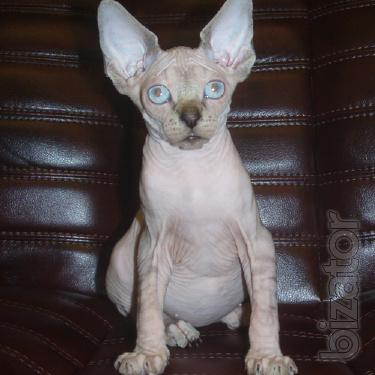 Extraordinary beauty Sphynx kittens.