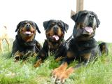 elite puppies Rottweiler