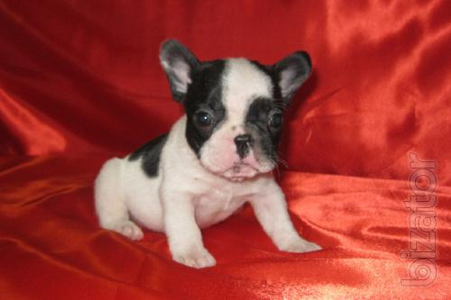 Sell puppies French bulldog