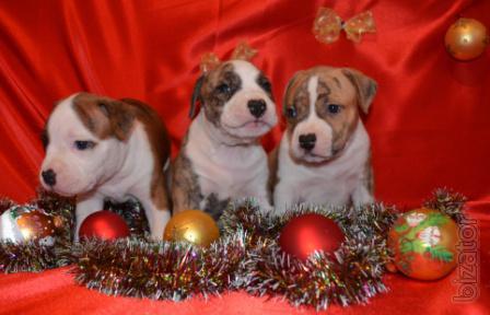 Puppies American Staffordshire Terrier Girl.(Kiev).