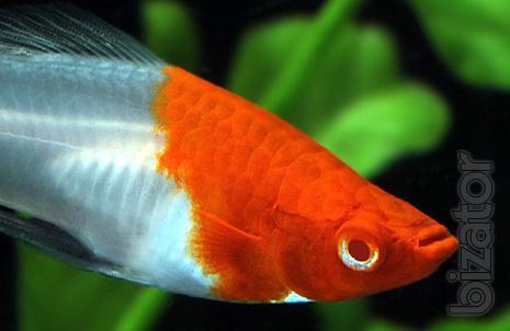 Koi swordtails the sleds tricolor santa claus black for Purple koi fish for sale