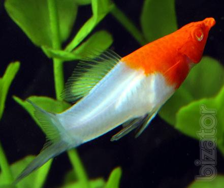 Koi swordtails the Sleds tricolor,Santa Claus,black Velifera and red of Velifera