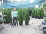 "Thuja occidentalis Smaragd ""extra"" 150-175 cm Kiev to buy"