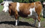 Sale of cattle (cattle). Meat breeds. Opt. Shipping. Call!