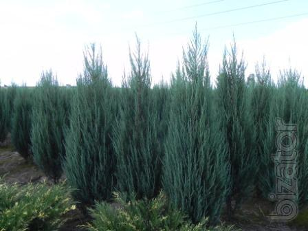 Thuja occidentalis Smaragd 1.7 to 2 meters Kiev to buy