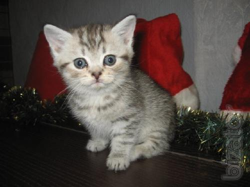 """""""Vickery"""" kitten"""