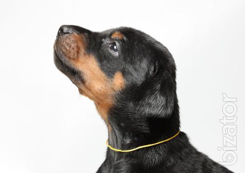 Puppies Doberman