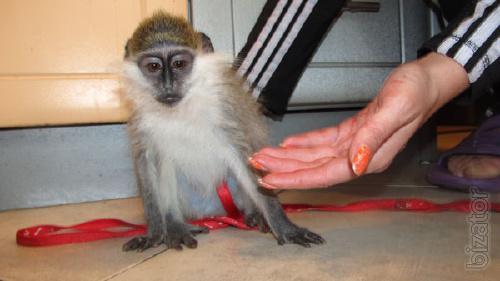 Dwarf green monkey