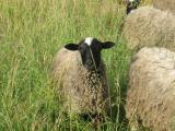 sheep Romanov breed