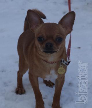 Chihuahua GSH Podbroshennyi red boy