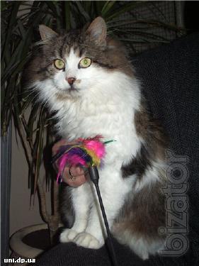 Gentle fluffy kitty Mila, sterilized