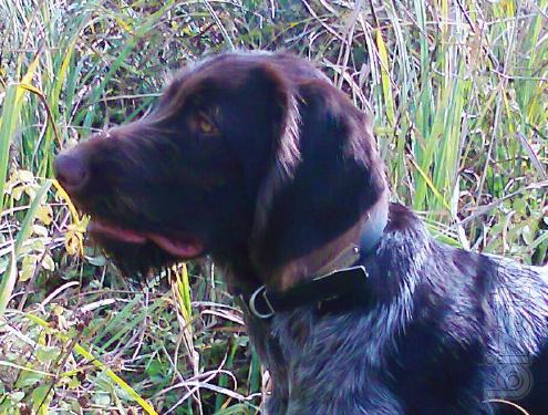 The Wirehaired pointer puppy,male,26.03.2012, not from the nursery,selected,trained.