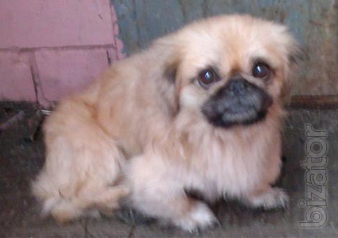 Pekingese, boy, young in responsible hands!