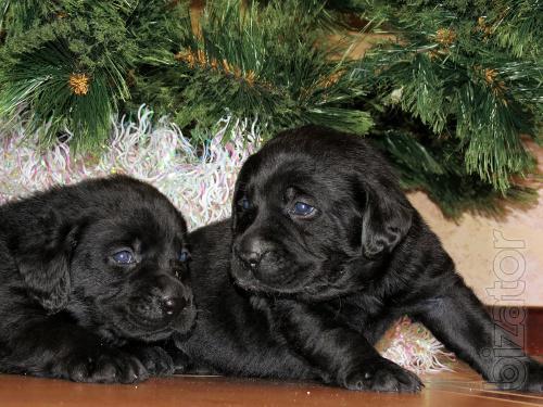 Wonderful puppies Labrador