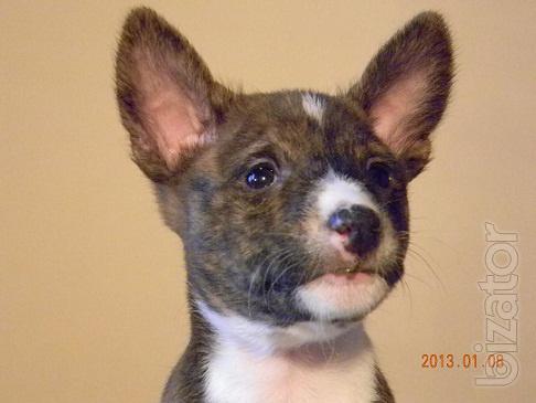 "Sold Basenji puppies from kennel ""Nzuri Basenji"""