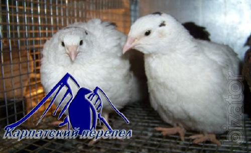 breed quails. English white