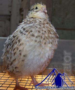 Manchurian Golden quail