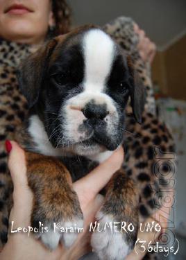 Puppies German Boxer