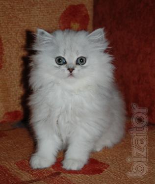 Silver chinchilla Persian in Odessa