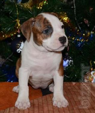 Vysokoporodny puppies American Staffordshire Terrier