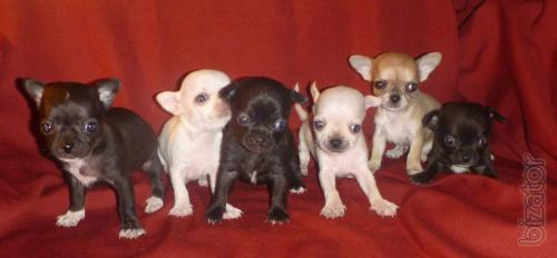 Puppies for sale Chihuahua