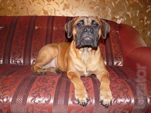 Sell puppy Bullmastiff super girl