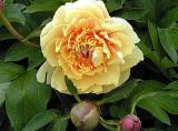 Tree peonies, peonies ITOH hybrids, herbaceous peonies - more than 70 varieties