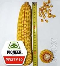Corn seeds pioneer