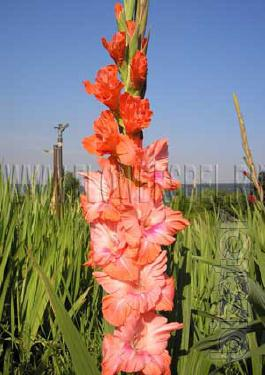 offer bulb of gladiolus ( produce)
