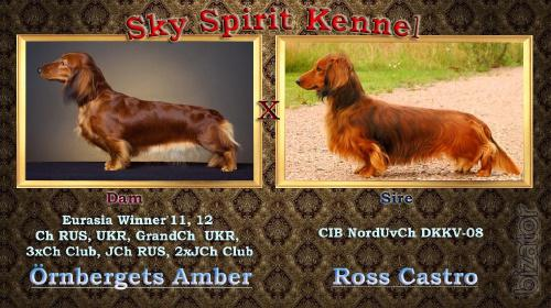 puppies dachshunds longhaired standard
