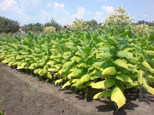 Seeds of tobacco Smoking 9 species, the package 200 PCs